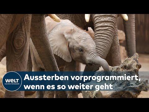 WELT-ELEFANTENTAG: Dickhäuter werden immer weniger - Artensterben droht