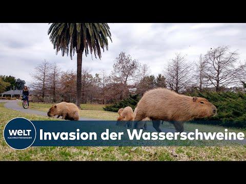 CHAOS DURCH CARPINCHOS: Wasserschweine sorgen in argentinischem Luxuswohnviertel für mächtig Ärger